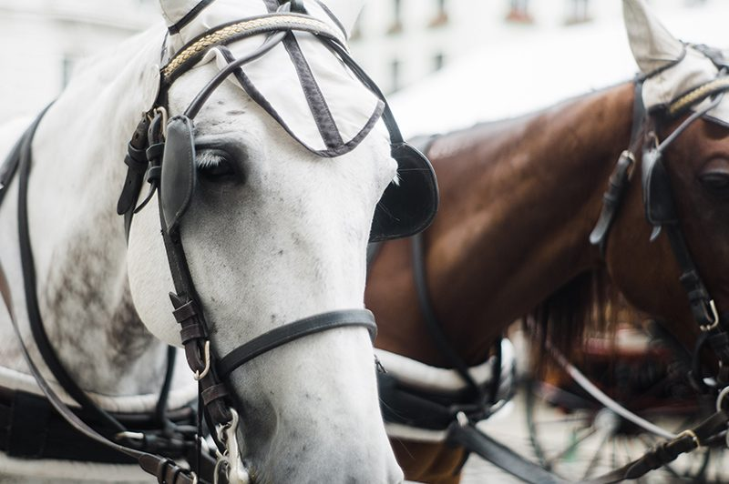 Bild: Die Pferde prägen das Stadtbild in Wien